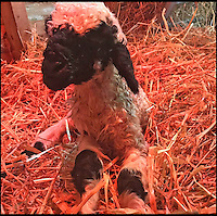 BNPS.co.uk (01202 558833)<br /> Pic: BlackNoseSheep/BNPS<br /> <br /> Barry when he was born.<br /> <br /> Baaa-king mad?<br /> <br /> It's a dogs life for 'Barry the lamb' - The precious Valais Blacknose lamb is being hand reared by owner Emma Childs after being rejected by his mother.<br /> <br /> Emma took Barry the lamb into her home last month so she could bottle-feed him round the clock after his mum rejected him as a newborn.<br /> <br /> Barry, now four weeks old, is a valuable rare Valais Blacknose, a breed that was only introduced to the UK from the Swiss Alps in 2014.