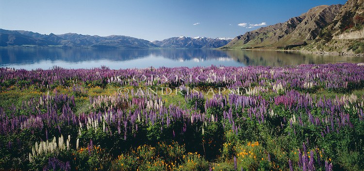 White & purple lupins in foreground of Lake Hawea. Otago Region. New Zealand.
