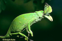 CH19-001z  African Chameleon - eating prey it caught with long tongue - Chameleo senegalensis