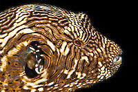 Puffer fish with an amazing stripe pattern. The puffer fish is poisonous but is sometimes prepared as soup or sashimi (fugu) by specially trained chefs in Japan and Korea, Palau Micronesia. (Photo by Matt Considine - Images of Asia Collection)