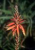 Aloe bloom<br /> <br /> flor de Aloe<br /> <br /> Baumartige Aloe Bl&uuml;te (Aloe arborescens)<br /> <br /> Original: 35 mm slide transparency