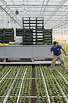 Foto: VidiPhoto<br /> <br /> ZUILICHEM - In razend tempo worden maandag in de gloednieuwe en grootste chrysantenkas van ons land met een plantrobot 6 miljoen jonge chrysantenplantjes neergezet. De eerste stelen worden over drie weken al geoogst. Verdeeld over vijf oogstrondes, komen er jaarlijks 36 miljoen troschrysanten uit de Bommelerwaardse kas, die onder de naam Diamond Flowers de Europese markt op gaan. Naar Hollandse troschrysanten is in het buitenland een toenemende vraag. Eigenaar van de 25 miljoen euro kostende ern 12 ha. grote kas is de jonge ondernemer (22) Koen Kreling uit Zuilichem. Het geavanceerde kassencomplex krijgt over een half jaar de eerste oogstrobot ter wereld, waarmee acht werknemers worden bespaard. Het enorme bedrijf stelt straks slechts 20 werknemers.