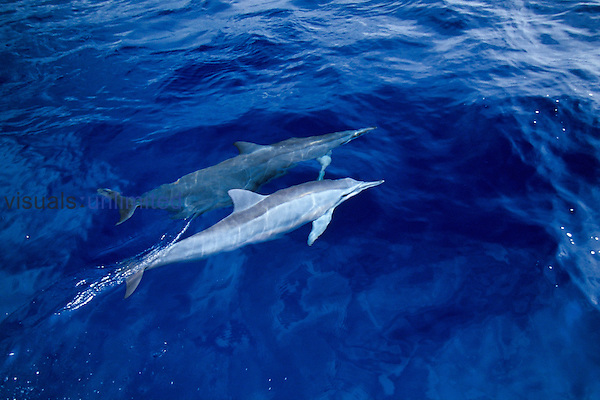 Lonng-snouted spinner dolphins bow-riding, (Stenella longirostris), note pale coloration or white color morph, off Kona Coast, Big Island, Hawaii, Pacific Ocean.