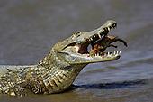 Spectacled Caiman (Caiman crocodilus) with Fish prey, Los Lianos, Venezuela
