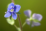 Germander Speedwell Flower, Veronica chamaedrys, garden, Kent, UK, close up of purple flower, soft, open.United Kingdom....