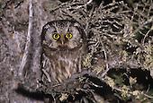 Boreal Owl (Aegolius funereus), Churchill, Manitoba, Canada.