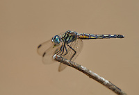 339900023 a wild female blue dasher pachydiplax longipennis perches on a dead twig in sepulveda basin in los angeles county california united states