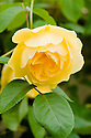 Rosa Graham Thomas ('Ausmas'), a rich yellow English rose from David Austin first introduced in 1983.