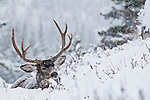 huge trophy shooter muledeer buck bedded deep snow habitat winter evergreen trees