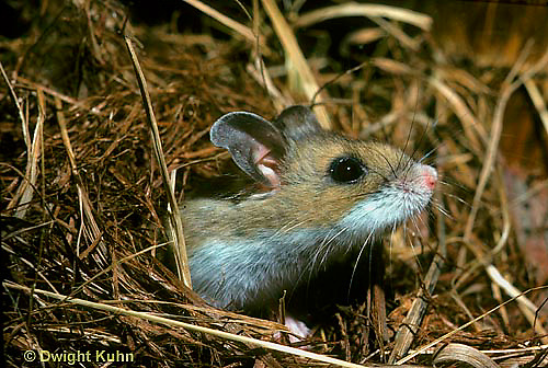 MU08-001z  White-Footed Mouse - nest in grasses - Peromyscus leucopus