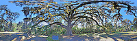 The Fairchild Oak, a 500 year old Oak Tree near Ormond Beach, Florida, is shown in this 360 degree panoramic images taken on January 16, 2014. (Photo by Brian Cleary/www.bcpix.com)