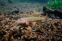 Hornyhead Chub-Breeding Pair<br />