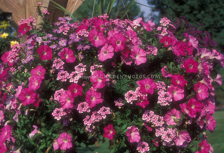 Annuals: Verbena with Petunia &amp; Brachyscome in hanging container