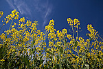 Oilseed rape against deep blue sky
