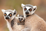 Ring Tailed Lemur, Lemur catta, Berenty National Park, Madagascar, pair of females together with young baby 3-4 weeks old
