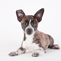 Chihuahua mix puppy laying down on a white seamless background.