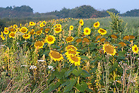 Helianthus sunflowers, amaranthus and quinoa crops