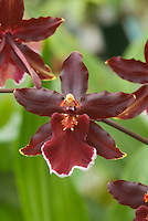 Orchid intergeneric hybrid Colmanara Wildcat 'Chadwick' AM/AOS (aka Odontocidium Wildcat) in red, white and yellow flowers