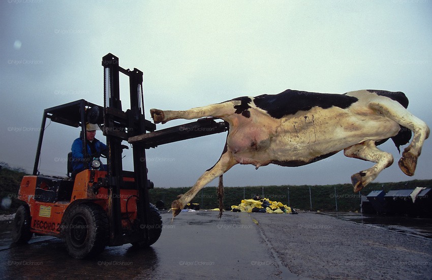 Europe, Britain, Midlands. Mad Cows 'BSE' Crisis. Incineration of beasts suspected of BSE. The burnt remains will be put into landfill sites. 1996.'MEAT' across the World..foto © Nigel Dickinson
