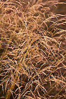 Golden Pendant Tufted Hair Grass, (Deschampsia cespitosa 'Goldgehaenge')
