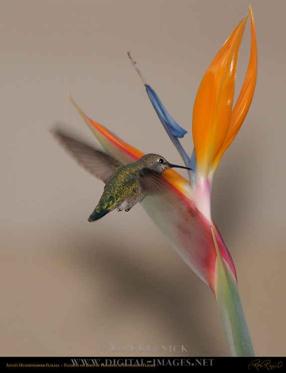 Anna's Hummingbird Female, Feeding on Bird of Paradise in Hovering Flight, Southern California