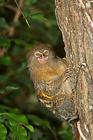 Pygmy Marmoset (Callithrix pygmaea) adult on a branch against green foliage. Captivity