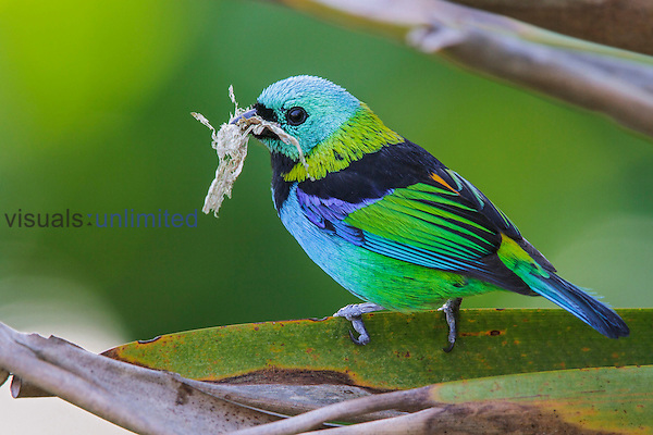 Green-headed Tanager (Tangara seledon) with insect prey in beak, Southeast Brazil.