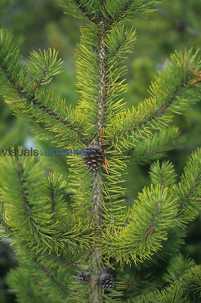 Lodgepole Pine needles and a mature female cone ,Pinus contorta,, Western North America.