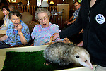 Betty Kuhn (center) and her friend Esther Notdurft (left)  are surprised by the tail of Pansy the opossum visiting from the Oregon Zoo. The zoo mobile regularly makes stops to places like this Tanner Spring Assisted Living Community which allows people who can't get to animals see them anyhow.
