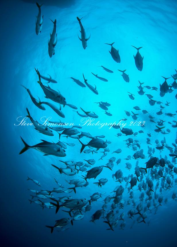 Schooling Horse Eye Jacks <br /> Caranx latus<br /> Sail  Rock<br /> St. Thomas<br /> Virgin Islands