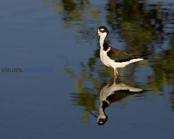 Female Black-necked Stilt ,Himantopus mexicanus,, North America.
