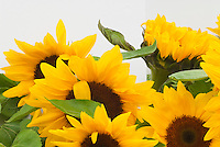 Cheerful Sunflowers Cheer Up