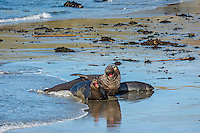 Northern Elephant Seals (Mirounga angustirostris)--large male hoping to mate with female who has just come ashore with her pup.  Central California Coast.