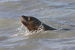 A sea lion rises out of the water to look at the photographer in this view from the Gulf of Alaska. The Sea Lion was feeding on salmon near the Copper River Delta.