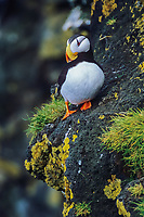 Horned Puffin, St. Paul Island, Pribilof Islands, Alaska.