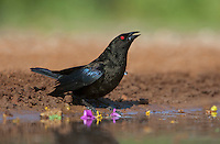 512440021 a wild male bronzed cowbird molothus aeneus drinks at a small pond in the rio grande valley in south texas