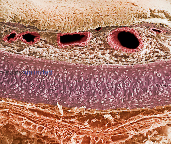 Cross-section of the trachea, showing ,top to bottom, epithelium, basement membrane, lamina propria, blood vessels, hyaline cartilage, and adventitia. SEM X150  **On Page Credit Required**