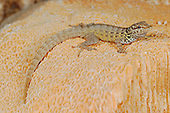 Rock Gecko (Pristurus abdelkuri) on a Madrepore fossil coral, Socotra, Yemen.