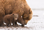 Brown bear mother and cub dig for razor clams on the shores of Cook Inlet in Lake Clark National Park Alaska, June 27, 2008.  The mother bear takes advantage of low tide to obtain this protein-rich food and to teach her cub about this food source while waiting for the salmon runs to start.  Photo by Gus Curtis.