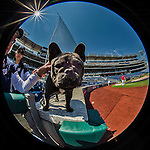 26 April 2014: Washington Nationals pitcher Gio Gonzalez'  dog Stitch, a French Bulldog, stands on this sidelines prior to a game against the San Diego Padres at Nationals Park in Washington, DC. The Nationals defeated the Padres 2-1 to take the third game of their 4-game series. Mandatory Credit: Ed Wolfstein Photo *** RAW (NEF) Image File Available ***