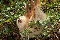 Three-toed sloth in Costa Rica.
