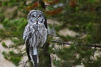 Great grey owl on fence post in Wallowa County Oregon