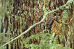 Spotted Owl, Cascade Mountain Range, Washington, USA