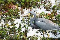 A tri-colored heron stalking its prey in the Florida Everglades.
