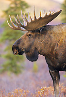 Bull moose portrait, Denali National Park, Alaska