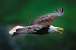 The only eagle unique to North America, a bald eagle flies past its cliff nest on Alaska's Unalaska Island. Habitat protection, the banning of DDT, and a captive breeding program have made the bald eagle a conservation success story.