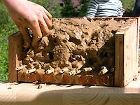 Kind, Kinder bauen Insekten-Hotel, Insektenhotel, Nisthilfe für Hymenopteren, mit Lehm gefüllte Kiste und hohle Pflanzenstängel bieten Nistmöglichkeiten für solitäre Wildbienen und Wespen