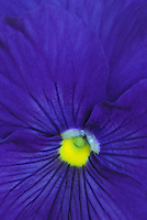 Center of purple pansy