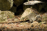 Raccoon (Procyon lotor) photographed by a camera trap.