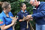 Foto: VidiPhoto<br /> <br /> ARNHEM - Een Europese primeur voor Burgers' Zoo in Arnhem. Daar is afgelopen vrijdag een tweeling lierhert levend ter wereld gekomen. Dat is nog niet eerder gebeurd in een Europese dierentuin. De beide diertjes werden maandag gechipt en gesekst. Het gaat om twee vrouwtjes. Het lierhert is een hertensoort uit Zuid-Oost Azi&euml;. De ondersoort thamin komt oorspronkelijk voor in Myanmar. Lierherten zijn afleggers; de eerste dagen na hun geboorte blijven ze doodstil liggen in de begroeiing. Hun gestippelde vacht helpt bij de camouflage. Vrouwen krijgen &eacute;&eacute;n jong na een dracht van 240 dagen. Na ongeveer een maand volgen ze hun moeder. Zijn in het wild bedreigd, onder andere door de jacht en verlies van habitat.  De lierherten zijn op dit moment niet te zien voor publiek. De dieren gaan pas naar buiten wanneer de jongen volledig met hun moeder mee lopen (na 4-5 weken). Ook de andere vijf vrouwtjes van Burgers' Zoo zijn zwangen. De dieren gaan pas naar buiten wanneer alle jongen die de komende tijd worden geboren goed kunnen meelopen.
